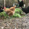 飼ってる鶏から学び、見直す。人間の食事のあり方。