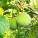 梅の収穫時期の見分け方。梅の使い道によって収穫時期は変わる。