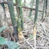 大名さまが認めたタケノコそれが大名竹