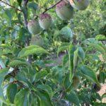 梅の収穫の見分け方は案外難しい。緑から黄色に変化の見極め。その絶妙さが求められます。