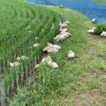 うちはそば屋なのでとても忙しい。なのでうちのお米はアヒルくんが作ってくれます。