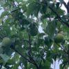 梅の収穫時期の見分け方。梅の使い道によって収穫時期が変わるの知ってましたか?とは言っても今年はとにかく梅の収穫量が少ないから大事に見極めます。