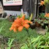 ノカンゾウの花の甘酢漬け。これがなかなかどうして。道端で草花をちぎるのは恥ずかしいの