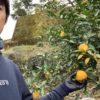 去年12月に仕込んだ柚子胡椒を壺の中で10ヶ月寝かせました。ようやくお目覚めしたがまこう庵特製手作り柚子胡椒。今年も美味しくできましたよ